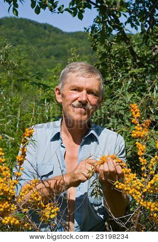 Man Plucking Berries Of Sea-buckthorn