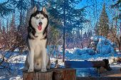 Portrait Siberian Husky Sitting On Stump In Winter Forest. Snow-covered Forest Landscape With Dog On poster