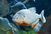 stock photo of piranha  - Closeup underwater image of a Red piranha - JPG