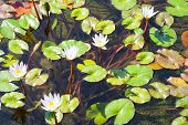 Water Lilies Bloom In The Lake. Water Lily Flower With Green Leaves In The Water. poster