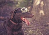 chocolate lab with goggles on toned with a retro vintage instagram filter poster