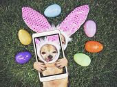authentic photo of a cute chihuahua with rabbit ears on and his tongue out surrounded by Easter eggs poster
