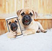 cute chihuahua pug mix puppy (chug) looking at the camera in a backyard during summer taking a selfi poster