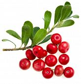 image of bearberry  - Bearberry  - JPG