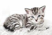 Scottish Kitten Lies. Cute Tabby Kitten. Kitty Kitten poster