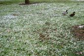 A Duck And A Drake In A Meadow With Melting Snow. poster