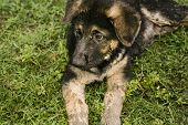 German Shepherd Puppies15