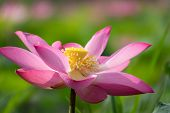 Pink Lotus Flower. Royalty High Quality Free Stock Image Of A Beautiful Pink Lotus Flower. The Backg poster