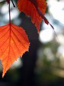Red Autumn Leaf