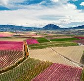 Orchards In Bloom. Aerial Photography Of A Blossoming Of Fruit Trees In Cieza In The Murcia Region.  poster
