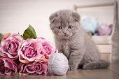 Scottish Kitten Portrait. Cat At Home. Scottish Fold Cat. Purebred Cats. Pet. Playful Kitten poster