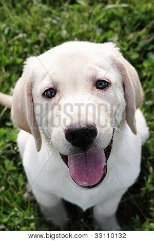 English Cream Labrador Retriever - Golden Retriever