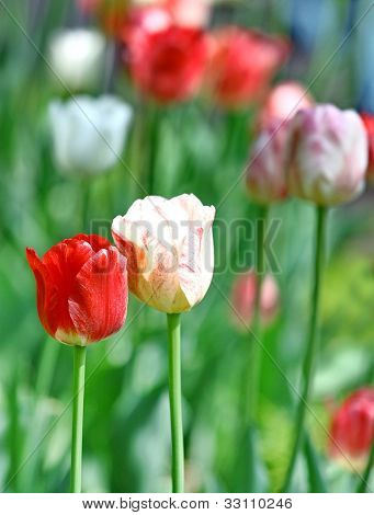 Red And White Beautiful Tulips