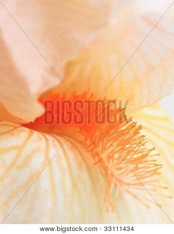 Peach Iris