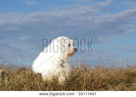 Havanese in the meadow