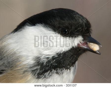Black-capped Chickadee Closeup