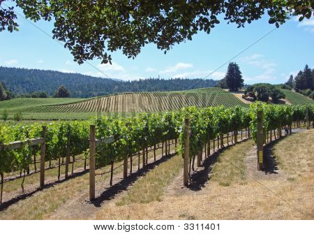Attractive Vineyard In Northern California