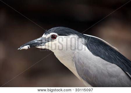 Black-crowned Night Heron. Portrait