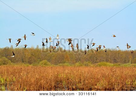 flock snipe on spring marsh