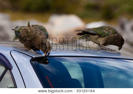 Two NZ alpine parrot Kea trying to vandalize a car