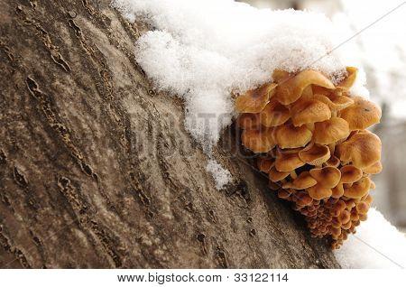 Honey mushrooms under snow