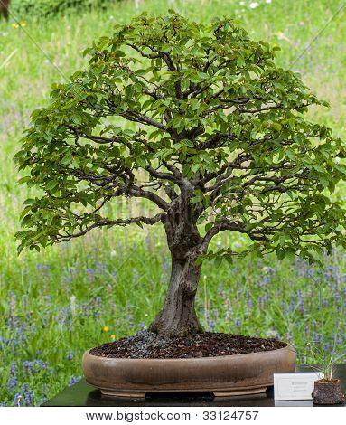 Hornbeam Als Bonsai Tree