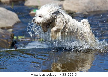 Dog jumps through the water