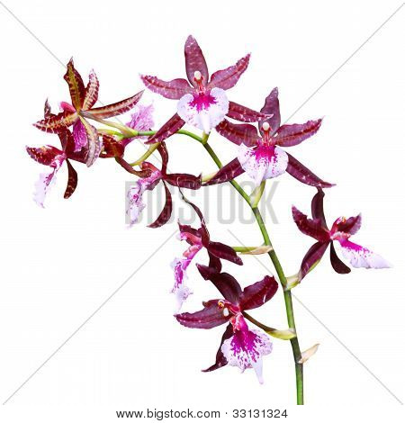 Red Tropical Orchid