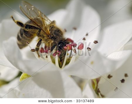 Bee On An Apple-tree Flower