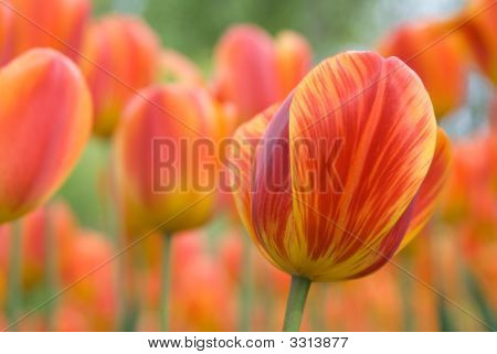 Tiger Tulips
