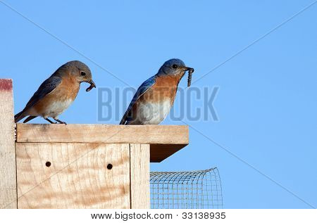Eastern Bluebirds With Food