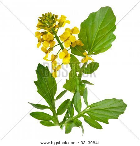 Flowering rapeseed plant ( Brassica napus ) close up  isolated