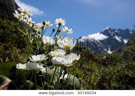 Mount Cook Lilies (ranunculus Lyalli)