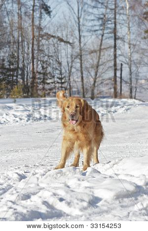 Beautiful Golden Retriever Dog Playing In White Snow