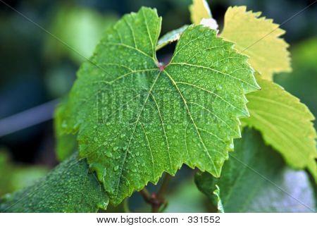 Grape Leaf With Dew1