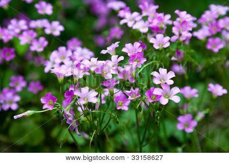 Pink oxalis(Oxalis corymbosa) in garden