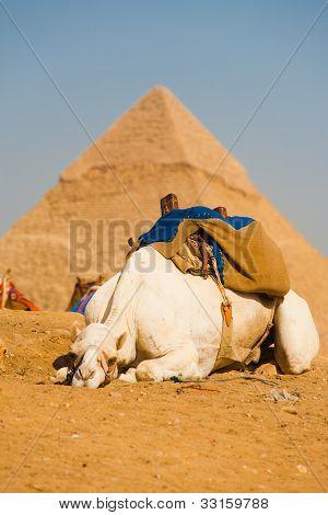 traurig weiß Kamel Pyramiden Gizeh-cairo