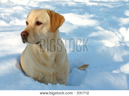 Labrador And Snow