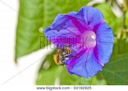 Humble Bee On Morning Glory