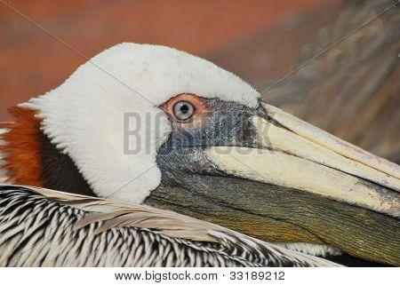Closeup of Brown Pelican, Florida