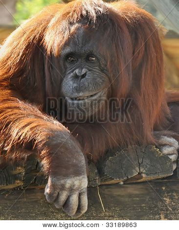 Orangutan, Tampa