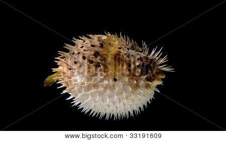 Envanezca pez globo