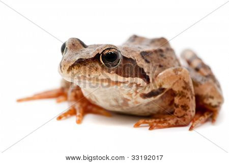 Rana arvalis. Moor frog on white background.