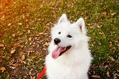 Samoyed Dog Portrait In Autumn Park. Canine Background. Walk Dog Concept. poster