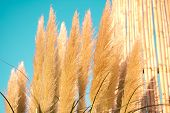 Pampas Grass Plumes. Crema Color Fluffy Plants Close Up.fluffy Feathery Plant poster