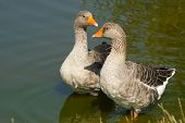 Gray Geese In The Water. A Pair Of Greylag Geese Stand In The Water Near The Shore Of The Pond poster