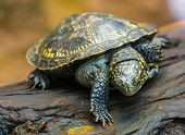 Closeup Portrait Of A European Pond Turtle, Tropical Reptile Specie From Europe, Near Threatened Ani poster