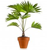 picture of australie  - Livistona Rotundifolia palm tree in flowerpot isolated on white - JPG