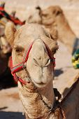 pic of hump  - Camel is an ungulate within the genus Camelus - JPG