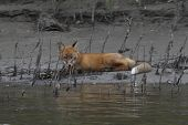 Red Fox On The Bank Of The River. The Front Of The Picture Shows Water With A Faint Reflection Of A  poster